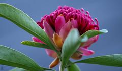 Warratah (Riley-Dobe) Tags: flower sky leaves warratah red australia d500 70200mm