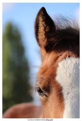 Idylle de Champlevé (aurelierouyer) Tags: photographie portrait photographe amateur portraitéquin poulain foal élevagedechamplevé poney welsh welshcob welshpony àvendre canon canonphoto canoneos70d canonfrance