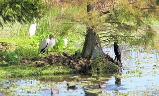 Great Heron, Woodstork, Cormorant and Moorhens 3667