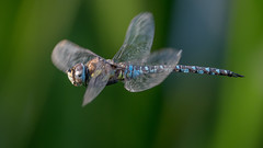 In flight (JS_71) Tags: nature wildlife nikon photography outdoor 500mm dragonfly 14x