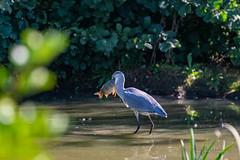27092018-DDO_2018-09-27-47.jpg (denis.loyaux) Tags: 4vr ariège denisloyaux domainedesoiseaux héroncendré mazères nikondd850 nikonafs600f france oiseau