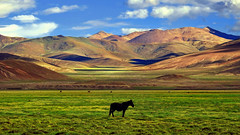The best is to be alone in nature... (Lopamudra !) Tags: lopamudra lopamudrabarman lopa landscape ladakh jk india hanle valley vale green field steppe meadow mountain mountains indus indusvalley himalaya himalayas highaltitude highland horse animal colour color colours colourful cold afternoon sunshine sunset sunlight sundown light lightandshade shadow shade range clouds cloud sky skyscape verdant nature beauty beautiful picturesque