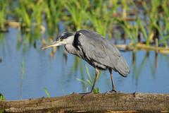 K32P6868c Grey Heron, Leighton Moss, September 2018 (bobchappell55) Tags: wild nature wildlife rspbleightonmoss lancashire bird greyheron ardeacinerea