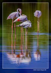 Reflex de flamencs 35 (Phoenicopterus roseus) Flamingos' reflections (El Racó de l'Olla, València, l'Horta, Spain) (Rafel Ferrandis) Tags: flamencs reflexos racóolla albufera au eos7dmkii sigma150600contemporary