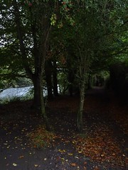 Hanging hawthorn (Phil Gayton) Tags: path track trail tree berry fruit gloom fall autumn riverside walk totnes devon uk water river dart
