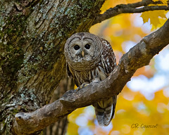 Fall Barred Owl (CR Courson) Tags: barredowl owls strigidae strixvaria fall birds birdphotography birdsofprey bird nikon naturephotography nature crcourson chuckcourson fallleaves