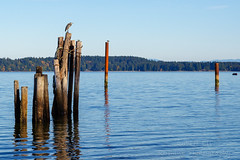 Watching Over the Sound (Roshine Photography) Tags: bird heron bluesky baynessound pilings creatures unionbay sea comoxvalley britishcolumbia canada ca