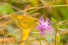7K8A7572 (rpealit) Tags: scenery wildlife nature weldon brook management area orange sulphur butterfly