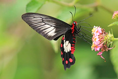 Red bodied beauty (aussiegypsy_catching up) Tags: pachlioptapolydorus red abdomen subterminal spots pink adult lantana tropics tropical australia australian aussie aussiegypsy lorraineharris forest rainforest uncommon local fnq farnorth northern tnq qld queensland kuranda wettropics heritagearea large butterfly lepidoptera papilionidae papilioninae wild wildlife insect insecta nature outdoors feeding sipping nectar flower sideview athertontablelands cairnshighlands