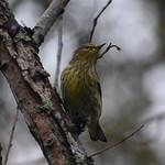 Cape May Warbler thumbnail