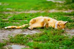 Cat (Ewelina Jaminska) Tags: green cat cats cute cutie beautiful beauty kitty kitties relax relaxing poland polska pologne polonia animal animals redcat cutecat lovelycat sweetcat sweet love friend friends freedom villagecat redhair redfur