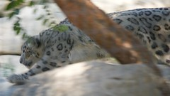 Los Angeles Zoo, Snow Leopard, sneaking. Beautiful spots... DSC_0421 (wbaiv) Tags: himalayan snow los angeles zoo october 2018 california botanical gardens beautiful spots sneaking cat blurred by motion leopard animal carnivore high altitude mountain dwelling slightly out focus sof