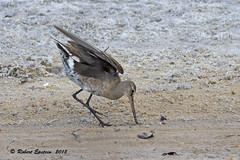 Hudsonian Godwit  160 (Robert Epstein) Tags: birds florida honeymoonislandsp hudsoniangodwit pinellascounty shorebirds wildlife