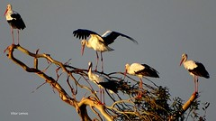 Cegonhas - Baixo Mondego (verridário) Tags: 5 five cinco cinq fünf cinque cigüeñas cicogne störche 鸛 аисты storks cegonhas πελαργών コウノトリ cigognes aves natura naturaleza nature sony