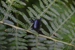Unidentified Beetle (Worthing Wanderer) Tags: southwestcoastpath cornwall cornwallcoast coast cloudy sunny river path summer august roseland portholland