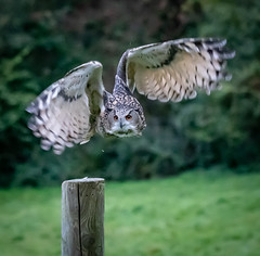 Loss of contact (Stu thatcher) Tags: bird prey stuart thatcher cotswold falconry center uk england canon 7d nature wildlife outside outdoor explore