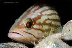 Epinephelus costae (Xavier Mas Ferrá) Tags: epinepheluscostae anfósllis meroliso serránido fish dive ibiza eivissa fauna