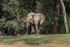 Zuli (ToddLahman) Tags: zuli umzulazuli ndula m male outdoors portrait attitude sandiegozoosafaripark safaripark canon7dmkii canon canon100400 closeup photooftheday beautiful canonphotography escondido eyelock elephants elephantvalley elephant elephantbaby baby