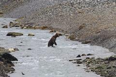Brown Bear (drawing10000birds) Tags: glacier bay national park alaska gustavus 2018 brown bear ursidae