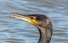 Cormorant Portrait (Steve (Hooky) Waddingham) Tags: bird british animal countryside coast fishing wild wildlife sea