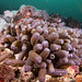 Zoanthid - toxic cocktail franks #marineexplorer