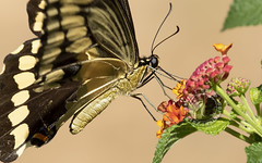 Eastern tiger swallowtail (Randy E. Crisp) Tags: recrisp randyecrisp randycrisp crisp canon woods wildlife outdoors redriver lamarcounty tx texas centralflyway 2018 2017 2016 2015 2014 2013 nature limb perched handheld fly male female gender sex canon100400mmvii closeup portrait canon7dmkii winter summer fall spring swallowtailbutterfly 16cropcamera insect