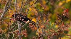 Blackbird feasting on sorbus berries (Four Seasons Garden) Tags: four seasons garden england english uk walsall foliage leaves 2017 autumn marie tony newton sorbus berries blackbird bird mountain ash tree