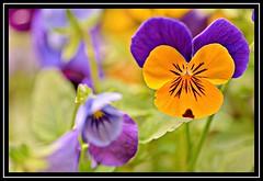 "22/100 for ""100 Flowers 2018"" (NikonShutterBug1) Tags: nikond7100 tokina100mm nature wildlife bokeh spe smartphotoeditor closeup macro flower flora 100flowers2018 sundaylights"
