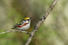 Chestnut-sided Warbler (jonathanirons28) Tags: chestnutsidedwarbler highpointstatepark sussexco may newjersey 2018 breedingwarblers cswa nikon d500