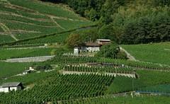 Tussen de druivenranken. (limburgs_heksje) Tags: zwitserland schweiz swiss meervangeneve genfersee chillon grens
