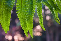 Fern bokeh (siarenee) Tags: canon canon600d 600d fern fall autumn foliage bokeh bokehful bokehlicious depthoffield upclose sunrise dof goldenhour nature