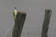 Picchio Verde (Polpi68) Tags: picchio pircher bird birds birdwatching nature