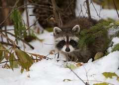 Young raccoon keeping an eye out... (Guy Lichter Photography - 4.2M views Thank you) Tags: canon 5d3 canada manitoba rmnp wildlife animals rodent rodents raccoon