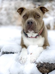 Molly (Cruzin Canines Photography) Tags: americanpitbullterrier portrait closeup cute pitbull dog animals iphonexsmax winter pit girl nature dogs pets snow naturallight pretty animal canine female iphone outside pet colorado pitbullterrier outdoors coloradosprings