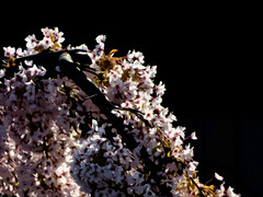 A Waterfall of Blossom (Steve Taylor (Photography)) Tags: digitalart black brown pink white newzealand nz southisland canterbury christchurch northnewbrighton blossom foliage contrast sunny spring