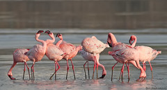Lesser flamingo (mukesh_mishra) Tags: lesseri flamingos indianbirds juvenile birds of gujarat boi makkddyy nature eco friendly naturelovers mukeshmishra mm