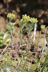 Alyssum alyssoides (Alysson annuel) (Sophie Giriens) Tags: alyssum alyssoides alysson annuel