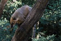 Rode neusbeer - Ring-tailed coati (Den Batter) Tags: nikon d7200 zooparc overloon rodeneusbeer ringtailedcoati nasuanasua
