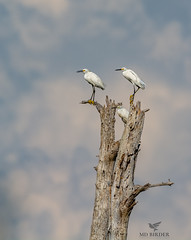 3 Treed Snowies (AnthonyVanSchoor) Tags: anthonyvanschoor maryland usa snowy egret hoopersville easternshoremaryland dorchestercounty nikon d7100 tamron150600mmtelephotolens