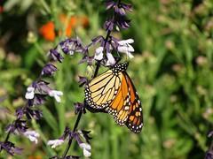 DSC04394c (Naturecamhd) Tags: dschx90v hx90v newyorkbotanicalgarden nybg botanicalgarden nature bronx green eco sonyhx90v thebronx perennialgarden sonydschx90v monarchbutterfly monarch