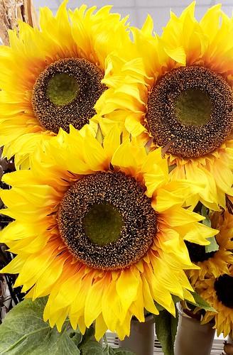 Silky Sunflowers