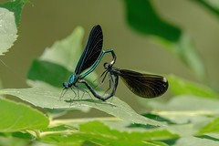 2017 Ebony Jewelwings Mating (Calopteryx maculata) 3 (DrLensCap) Tags: ebony jewelwings mating calopteryx maculata weber spur trail labagh woods chicago illinois abandoned union pacific railroad right way il bug insect damselfly damsel fly rails to trails cook county forest preserve district preserves robert kramer