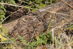 Common Lizards-7357 (WendyCoops224) Tags: 100400mml 80d autumn autumnwatch canon eos localbirdswildlife ©wendycooper common lizard