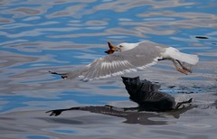 Herring Gull with Starfish for lunch!!!! (haroldmoses) Tags: 2y3a89591 flickrbirds norway honningsvag gulls starfish