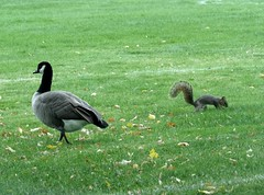 Nothing special, (EcoSnake) Tags: goose canadageese squirrels easternfoxsquirrel park grass fall october boiseidaho