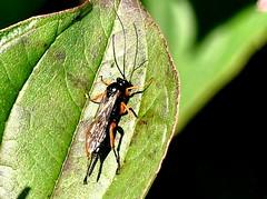 Pimpla rufipes 9.10.18 (ericy202) Tags: pimplsrufipes ichneumon wasp cornus dogwood leaf