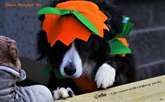 Sweet Pumpkin Pie (ASHA THE BORDER COLLiE) Tags: halloween pumpkin pie outfit costume funny border colllie hi ashathestarofcountydown connie kells county down photography