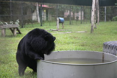 Ingrid bobs for apples in the water (Animals Asia) Tags: ingrid animalsasia vietnam vbrc