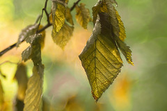 Gold (bresciano.carla) Tags: trioplan100mm sonyα6300 light leaves gold colors vintagelens
