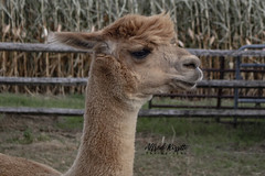Alpaca (alfredo.rossitto) Tags: grass fence corn pet pets alpaca farm zoo animals